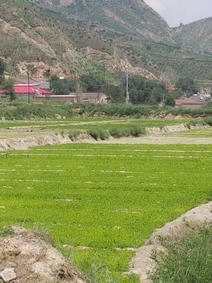 甘肃省定西市安定区毛芹 55~60cm 露天种植 0.5~1.0斤