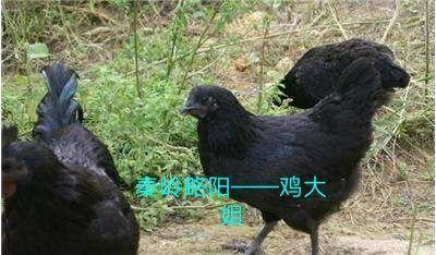 陕西省汉中市略阳县土乌鸡 2-3斤
