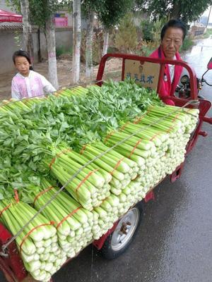 陕西省榆林市靖边县法国皇后芹菜 40~45cm 露天种植 0.5~1.0斤