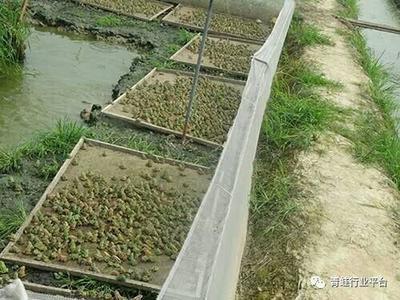 湖南省岳阳市云溪区青蛙苗