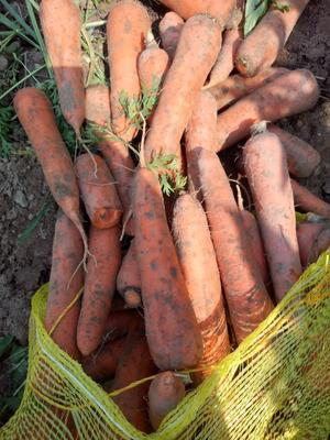 河北省保定市望都县三红胡萝卜 10cm以下 2两以下 3cm以下