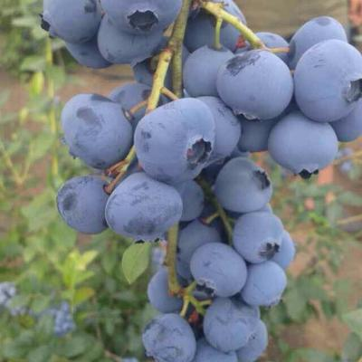 内蒙古自治区呼伦贝尔市鄂伦春自治旗野生蓝莓 鲜果 4 - 6mm以上
