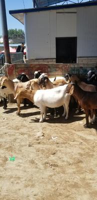 贵州省毕节市威宁彝族回族苗族自治县山羊 50-80斤