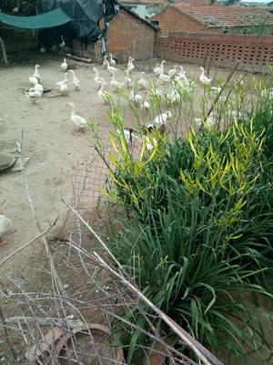 吉林省长春市榆树市土鹅蛋 食用 箱装