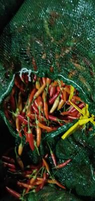 这是一张关于小米椒 10~15cm 黄色 特辣的产品图片