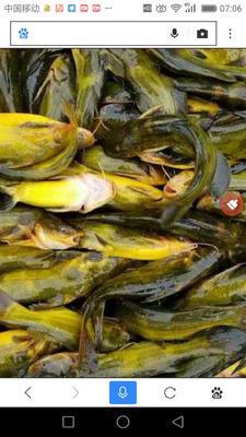 广西壮族自治区钦州市钦南区网箱黄颡鱼 人工殖养 0.1龙8国际官网官方网站