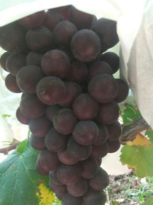 这是一张关于夏黑葡萄 5%以下 1次果 1.5- 2斤的产品图片