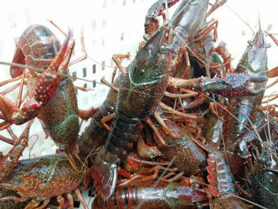 这是一张关于红壳小龙虾 人工殖养 4-6钱的产品图片