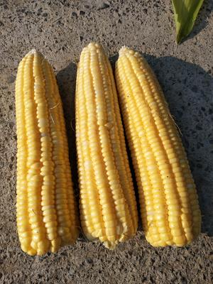 湖北省恩施土家族苗族自治州利川市甜玉米 黄粒 鲜货