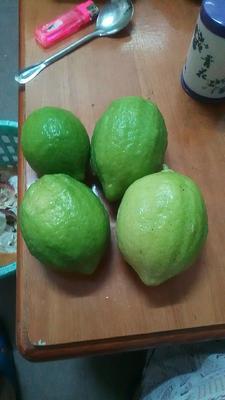 广西壮族自治区玉林市容县香水柠檬 3.3 - 4.5两
