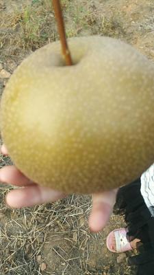这是一张关于圆黄梨 350-400g 75mm以上的产品图片