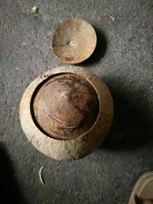 广东省广州市增城区毛椰 1.5 - 2斤