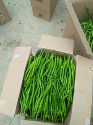 这是一张关于薄皮椒 15~20cm 靑色 微辣的产品图片