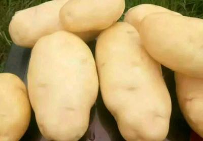 陕西省榆林市靖边县226土豆 3两以上