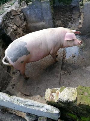 福建省泉州市南安市土猪肉 生肉