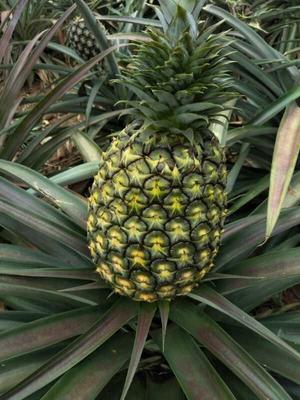 云南省西双版纳傣族自治州景洪市无眼菠萝 2 - 2.5斤