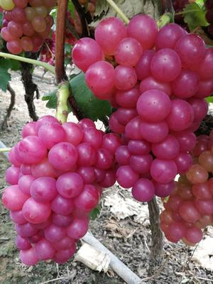 河南省平顶山市叶县巨峰葡萄 5%以下 1次果 1-1.5斤