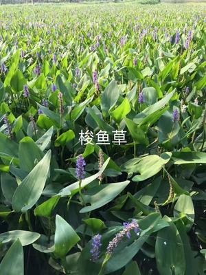 浙江省杭州市萧山区千屈菜