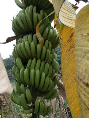 广西壮族自治区百色市田林县广西蕉 八成熟 60 - 70斤