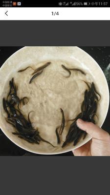 天津武清区台湾泥鳅 50-60尾/龙8国际官网官方网站 3-5cm 人工养殖