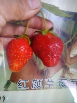 山东省泰安市岱岳区奶油草莓苗 地栽苗 10~20公分