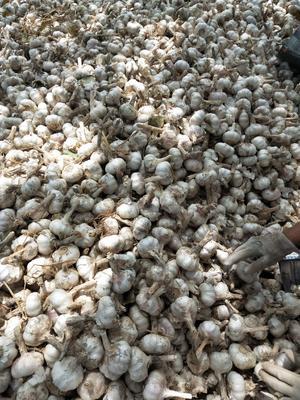 这是一张关于大蒜种子的产品图片