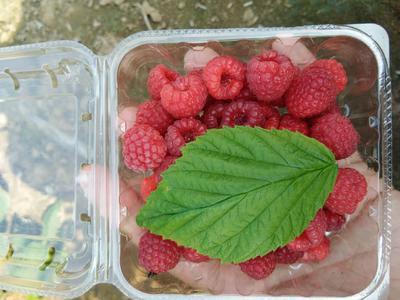山东省泰安市岱岳区双季红树莓 鲜果