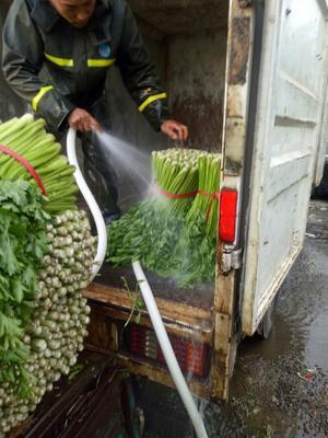 河北省唐山市乐亭县铁杆芹菜 60cm以上 露天种植 0.5斤以下
