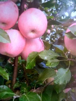 这是一张关于美八苹果 膜袋 片红 60mm以上的产品图片