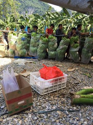 广东省东莞市东莞市广西蕉 七成熟 70斤以上