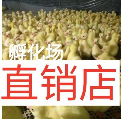 广西壮族自治区南宁市西乡塘区白鹅苗