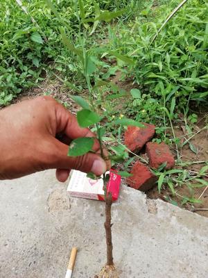 香橙苗 种子 0.5米以下