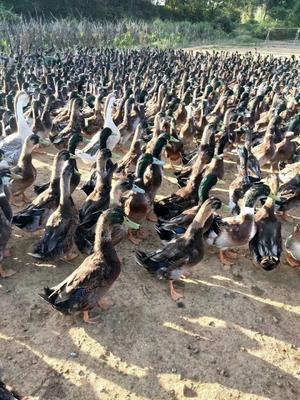 广西壮族自治区百色市隆林各族自治县鸭肉类 新鲜