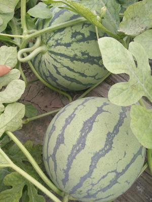 江苏省常州市武进区京欣西瓜 有籽 1茬 8成熟 8斤打底