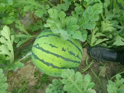 吉林省四平市公主岭市京欣西瓜 无籽 1茬 8成熟 8斤打底