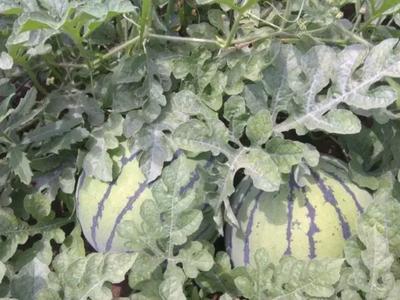 河南省周口市太康县京欣西瓜 有籽 1茬 8成熟 5斤打底