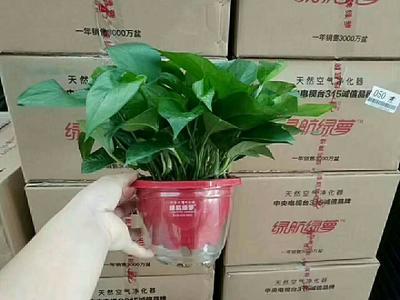 云南省大理白族自治州大理市绿萝