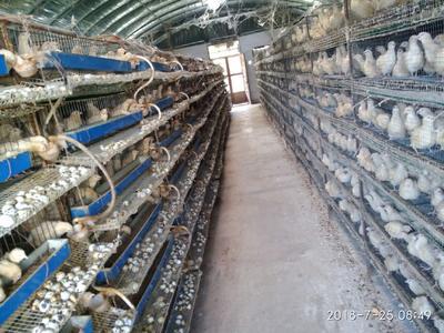 安徽省蚌埠市龙子湖区白羽鹌鹑蛋 食用 箱装