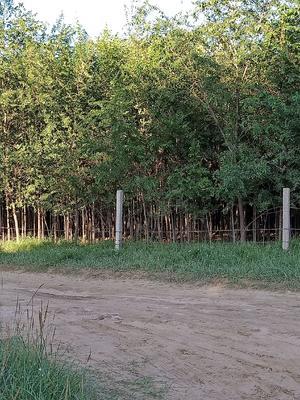 陕西省榆林市靖边县小叶榆树