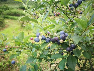 贵州省黔东南苗族侗族自治州麻江县麻江蓝莓 鲜果 8 - 10mm以上