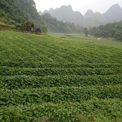 广东省茂名市高州市有机高山红薯1号 2-5两