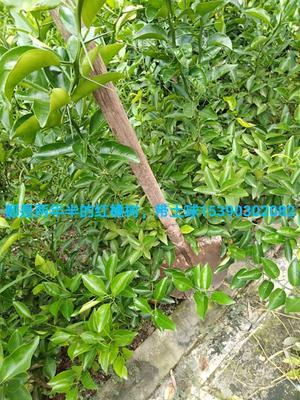四川省内江市资中县柑树苗 1~1.5米