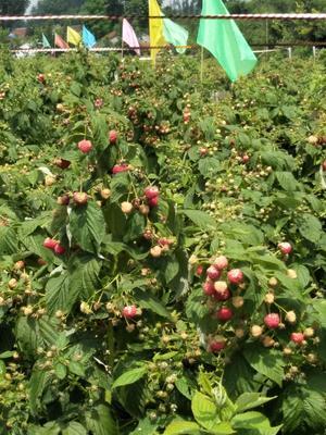 山东省莱芜市钢城区双季红树莓 鲜果