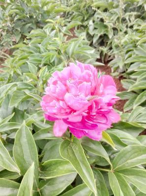 山东省菏泽市牡丹区多花芍药 4~6cm 0.5米以下
