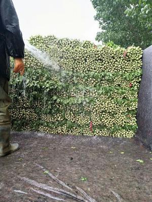 山东省滨州市博兴县法国皇后芹菜 60cm以上 露天种植 0.5斤以下