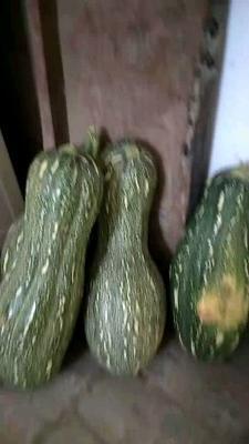 山西省运城市夏县日本南瓜 6~10斤 长条形