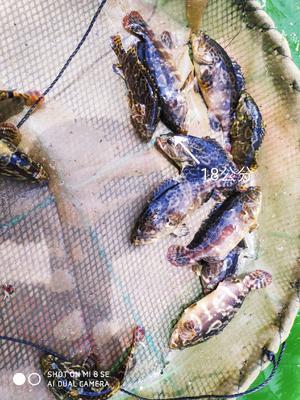 海南省万宁市万宁市珍珠龙胆石斑鱼 人工殖养 0.5龙8国际官网官方网站以下