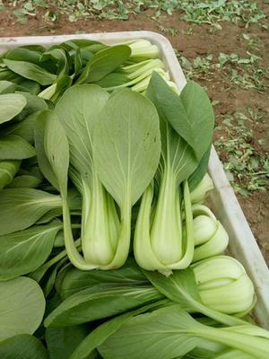 上海嘉定区小青菜 15~20公分