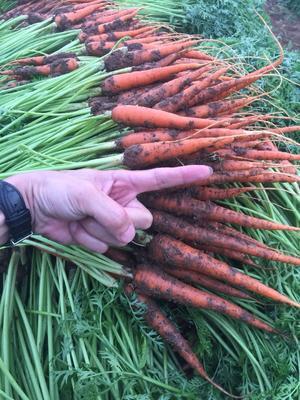 云南省红河哈尼族彝族自治州建水县手指胡萝卜 10~15cm 2两以上 3cm以下