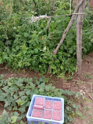 辽宁省沈阳市铁西区红树莓 鲜果